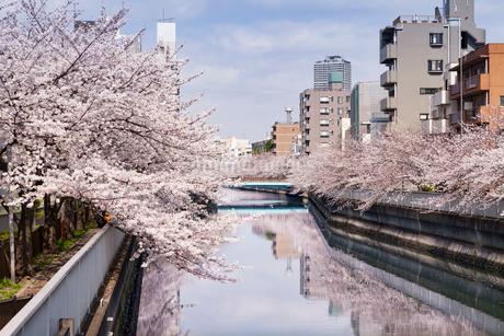 目黒川の桜の写真素材 [FYI01798512]