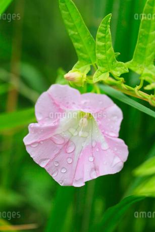 雨に濡れたヒルガオの写真素材 [FYI01798535]