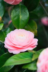 ツバキの花の写真素材 [FYI01798553]