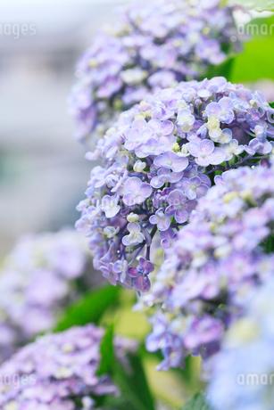 アジサイの花に水滴の写真素材 [FYI01798609]