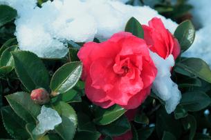 サザンカの花に雪の写真素材 [FYI01798617]