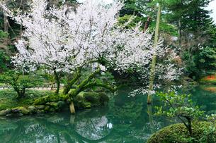 金沢兼六園の瓢池とサクラの写真素材 [FYI01798647]