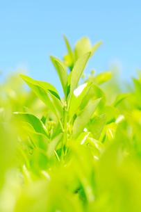 新緑の葉の写真素材 [FYI01798655]
