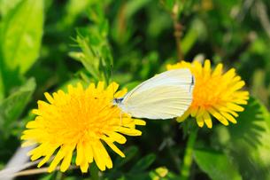 タンポポの花にチョウの写真素材 [FYI01798680]
