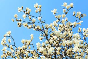 コブシの花の写真素材 [FYI01798687]