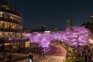 六本木ミッドタウンの夜桜の写真素材 [FYI01798745]