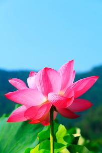 ハスの花の写真素材 [FYI01798751]