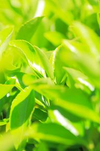 新緑の葉の写真素材 [FYI01798770]