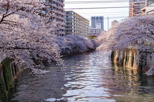目黒川の桜の写真素材 [FYI01798776]