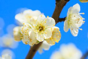 ウメの花の写真素材 [FYI01798798]