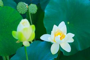 ハスの花の写真素材 [FYI01798800]