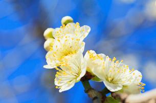 ウメの花の写真素材 [FYI01798808]