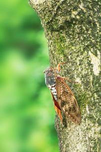 街路樹にアブラゼミの写真素材 [FYI01798811]
