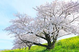 木曽長良背割提のサクラ並木とナノハナの写真素材 [FYI01798841]