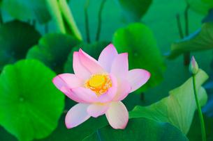 ハスの花の写真素材 [FYI01798878]
