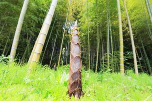 タケノコと竹林の写真素材 [FYI01798900]