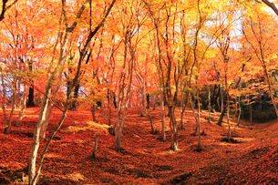 紅葉の木立に木漏れ日の写真素材 [FYI01798915]