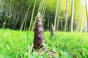 タケノコと竹林の写真素材 [FYI01798969]
