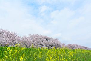 桜並木とナノハナの写真素材 [FYI01798970]