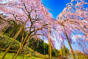 田ノ頭郷のしだれ桜(波佐見町)の桜の写真素材 [FYI01798971]