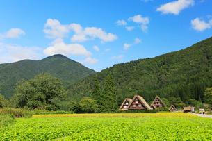 秋の白川郷・ソバ畑と稲田の写真素材 [FYI01798995]