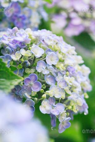 アジサイの花に水滴の写真素材 [FYI01799060]