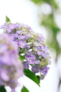 アジサイの花に水滴の写真素材 [FYI01799061]