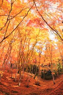 紅葉の木立に木漏れ日の写真素材 [FYI01799072]