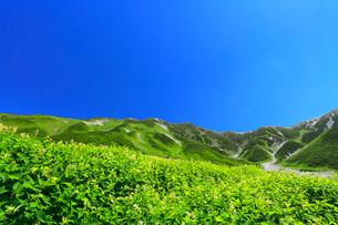 立山・花咲く高山植物に別山と真砂岳の写真素材 [FYI01799074]