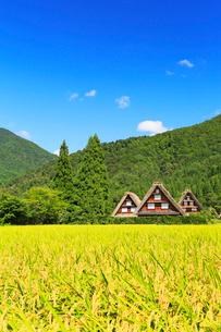 秋の白川郷・稲田と青空の写真素材 [FYI01799106]