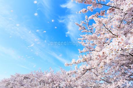サクラ並木に花吹雪の写真素材 [FYI01799207]