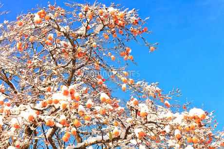 カキに新雪と青空の写真素材 [FYI01799238]