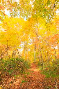 紅葉のブナ林と小径の写真素材 [FYI01799274]