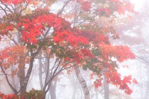 カエデの紅葉に霧の写真素材 [FYI01799447]