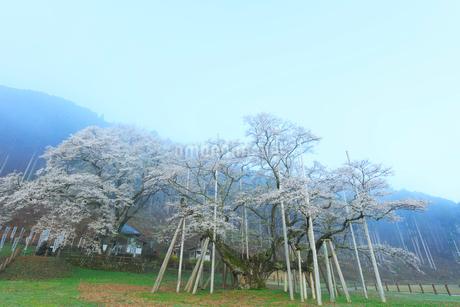 根尾谷淡墨桜の写真素材 [FYI01799518]