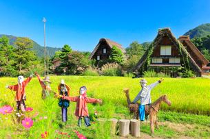 秋の白川郷・快晴の空と稲田に案山子の写真素材 [FYI01799709]