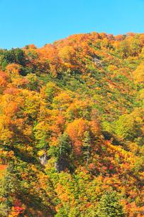 紅葉と快晴の青空の写真素材 [FYI01799735]