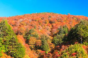 紅葉と快晴の青空の写真素材 [FYI01799796]