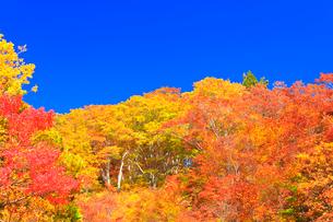 紅葉と快晴の青空の写真素材 [FYI01799797]