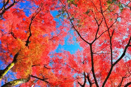 秋の山中温泉鶴仙渓の紅葉の写真素材 [FYI01799814]