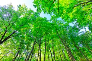 ブナの森の写真素材 [FYI01799833]