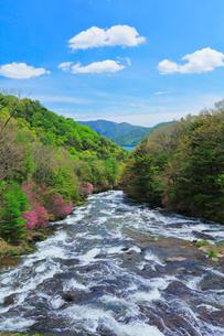新緑と竜頭の滝に花咲くトウゴクミツバツツジの写真素材 [FYI01799898]