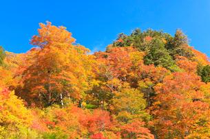 紅葉と快晴の青空の写真素材 [FYI01799989]