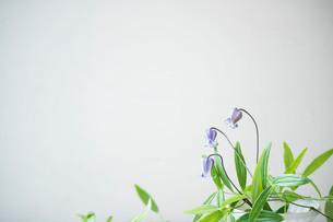 白い花器に活けた紫色のクレマチスの写真素材 [FYI01800010]