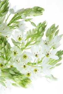 白いオオニソガラムの花の写真素材 [FYI01800075]