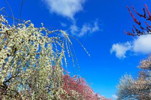 ウメの花と青空の写真素材 [FYI01800082]