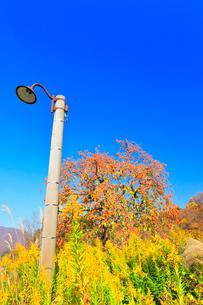 秋の白川郷 柿の木と電柱の写真素材 [FYI01800089]