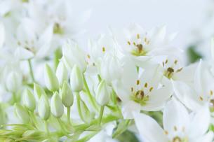 白い壁と白いオオニソガラムの花の写真素材 [FYI01800090]