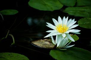 水辺に咲く白い睡蓮の写真素材 [FYI01800109]