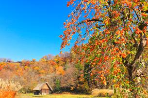 秋の白川郷 柿の木と合掌造り小屋の写真素材 [FYI01800114]